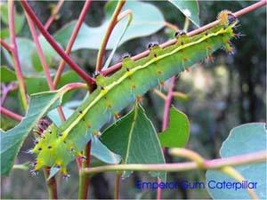 Emperor Gum caterpillar