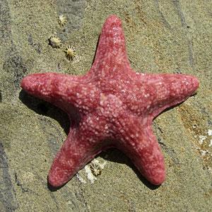 Sea-star (40K)