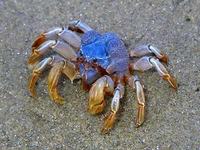 Soldier-crab (27K)