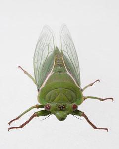 cicada_jh (11K)