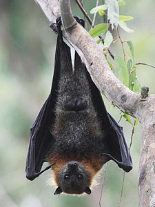 grey-headed_flying_fox_ik (20K)