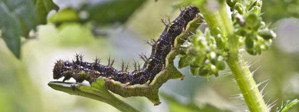 vanessa-itea-larva (30K)